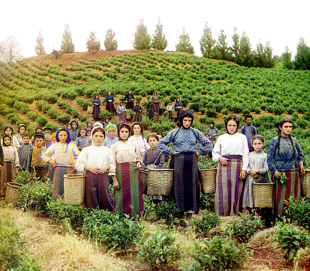 The group working on the collection of tea. Greek. (Chakva)