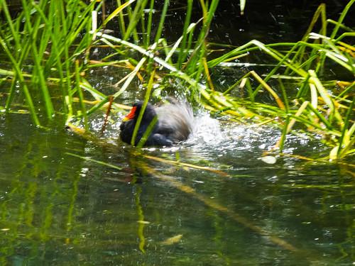 Moorhen bathing