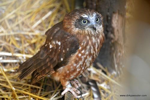 Owl 3   by Dirk Paessler