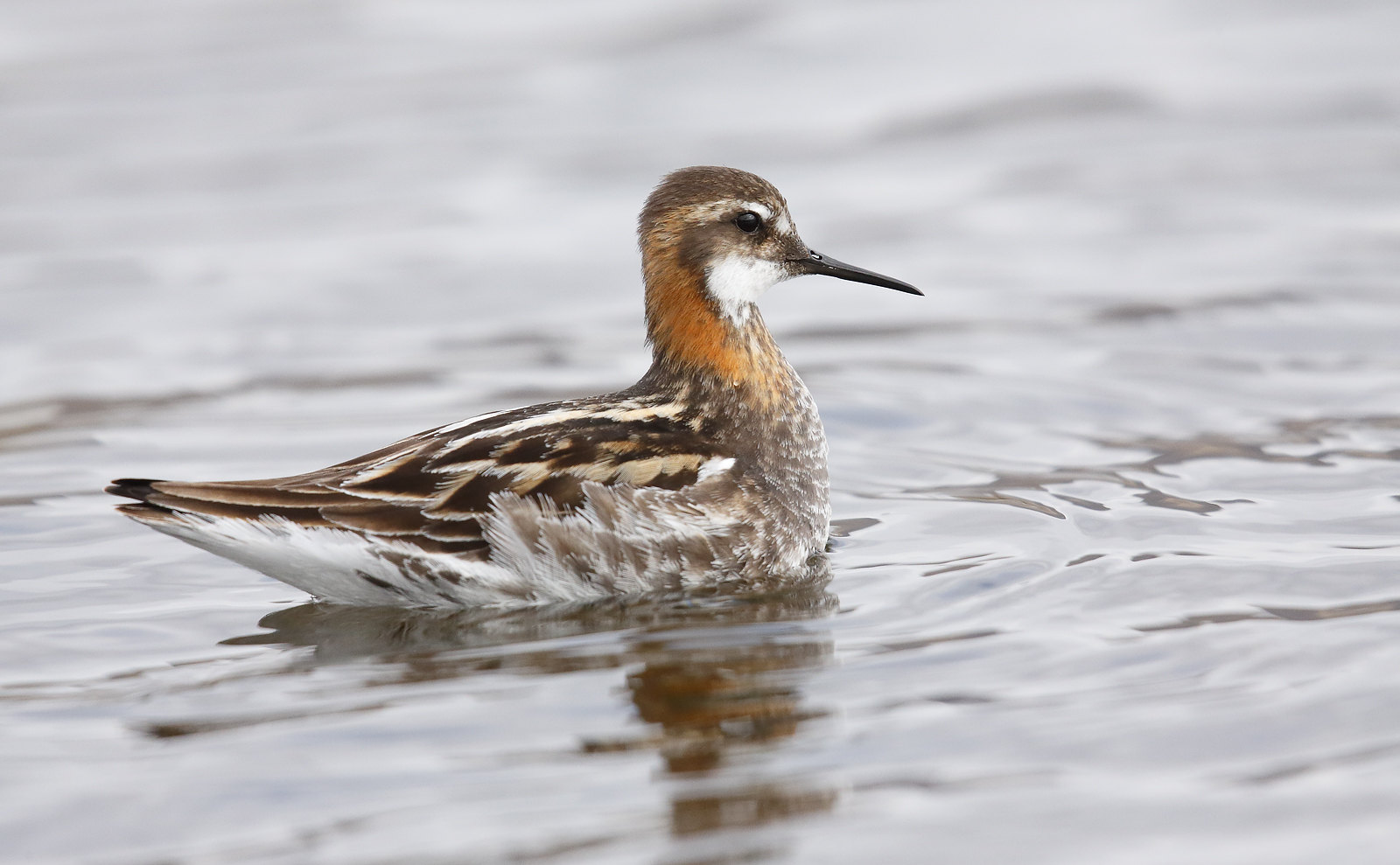 Red-necked Phalarope [male]