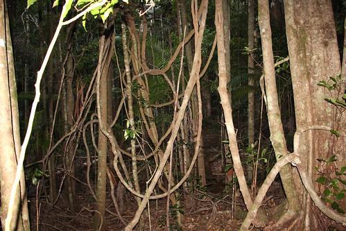 plant tree forest landscape outdoor vine australia jungle tangle portmacquarie bangalowpalm midnorthcoast middlebrothermountain subtropicalrainforest arfp maidensblush sloaneawoollsii nswrfp qrfp lowlandarf subtropicalarf elaeaocarpaceae kewnsw