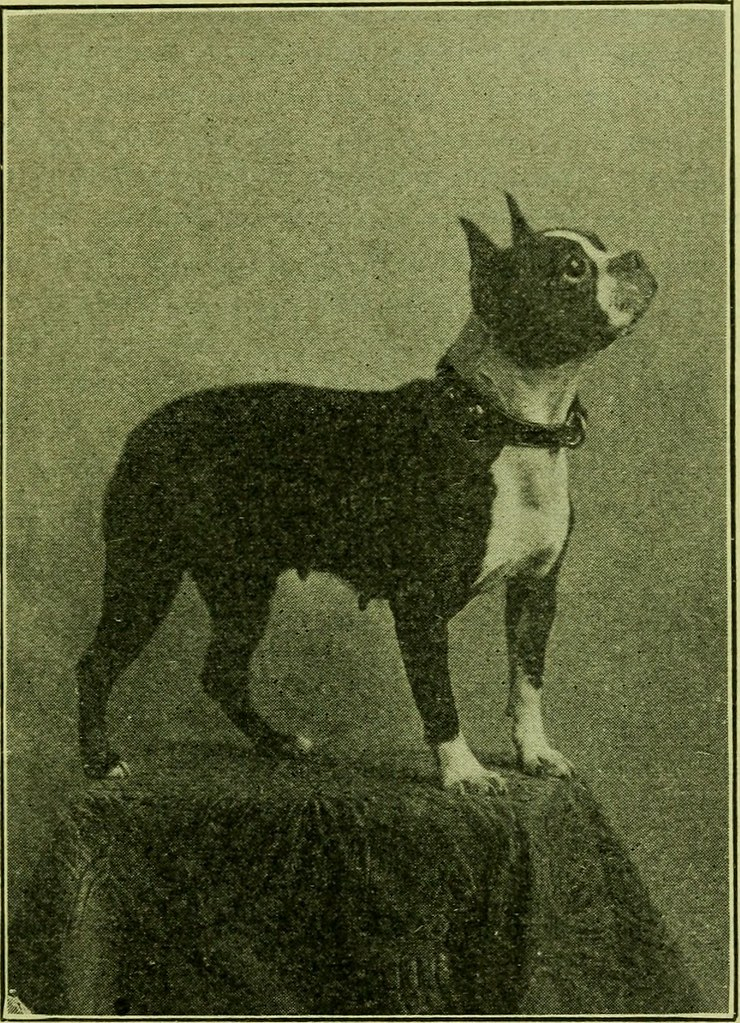 Image From Page 72 Of The Boston Terrier Its History Po Flickr