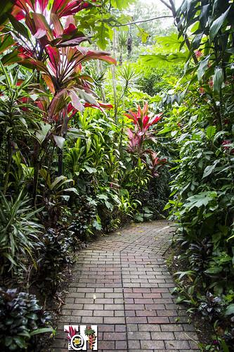 Garden path with Ti plants