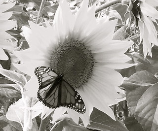 Butterfly on a sunflower B&W   drummer-boi-22   Flickr