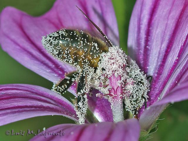 Los Polinizadores y el fin de la humanidad - Pollinators and the end of our days