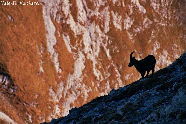 17A_00163 - Switzerland, Gruyère region - Mountain's Goat