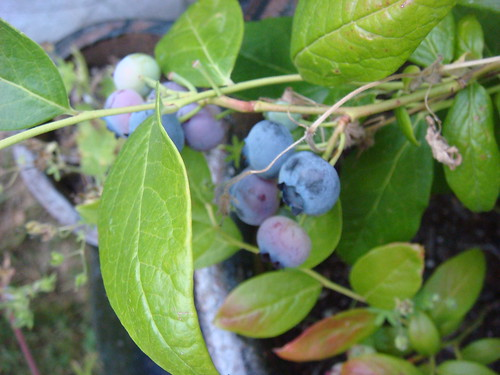 First blueberries of the season! | by kckellner