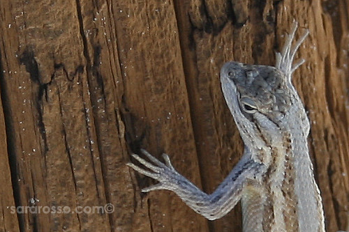 Bleached Earless Lizard in the Shade at White Sands National Monument | by MsAdventuresinItaly