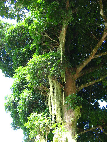 Biggest Mango Tree | by prmn_2002