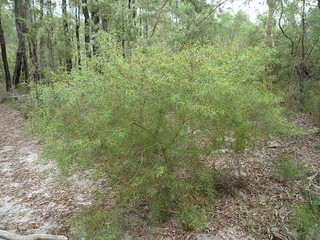 Persoonia nutans