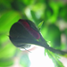 Rose Time Lapse by BY-YOUR-⌘