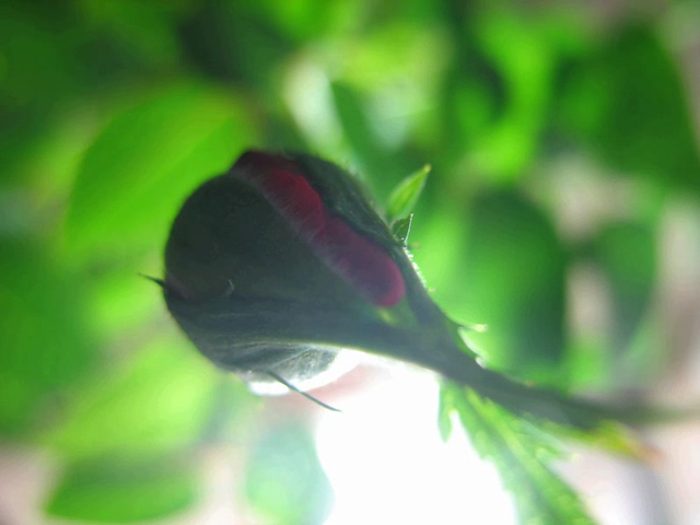 Rose Time Lapse