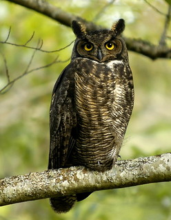 Great Horned Owl | by brendan.lally....away