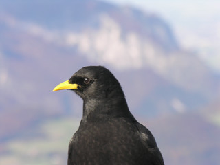 Crow in the Kehlsteinhaus | by CyberMacs