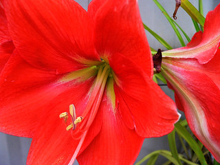 Red Hippeastrum | by Jaycee1