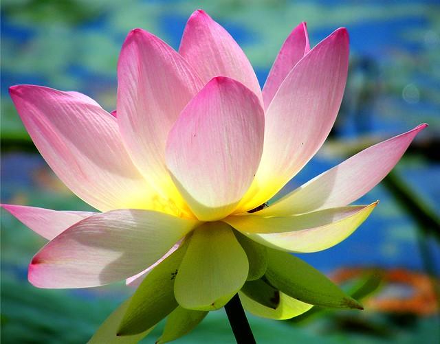 Early Innisfree Lotus