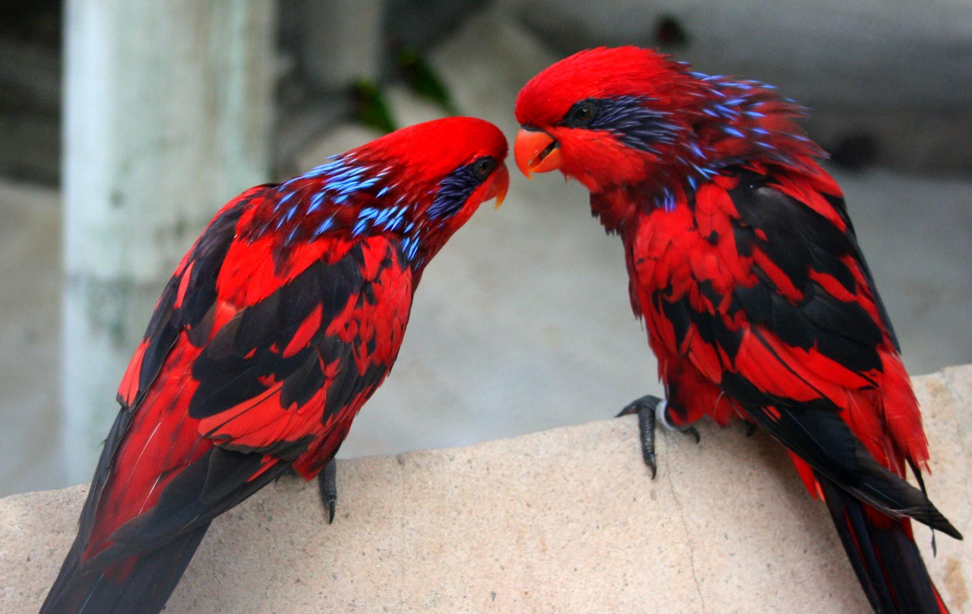 Red Lorries at the San Antonio Zoo
