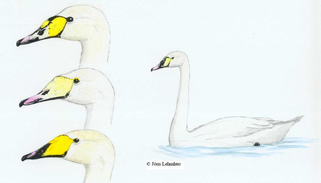 Mute x Whooper swan variability