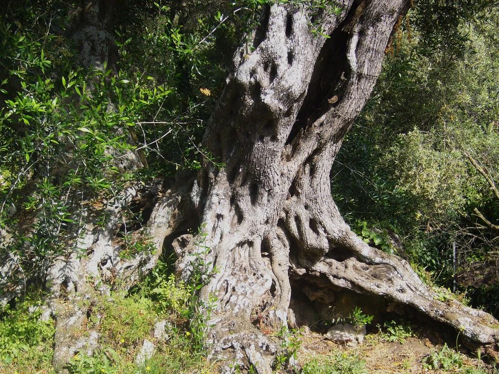 KORFU - Alter Olivenbaum    - 02
