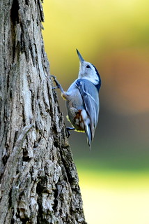 White Breasted Nuthatch | by Sarbhloh/Harjeet