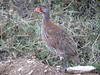 Grey-breasted Francolin by sandlings