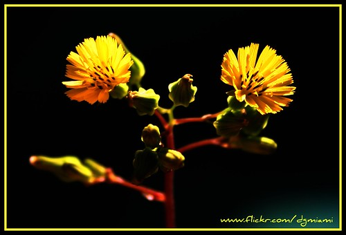 Tiny Yellow Flowers Close Up | by danmiami