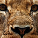 Image: Facing the Lioness