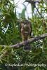Besra (Accipiter virgatus rufotibialis) by RON PUDIN