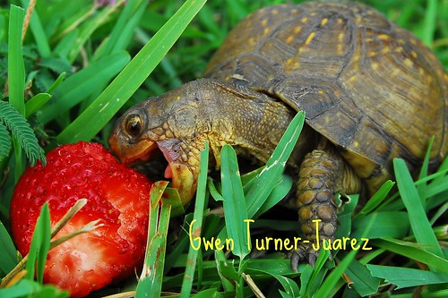 Turtle Attacks Strawberry! | by gwenturnerjuarez