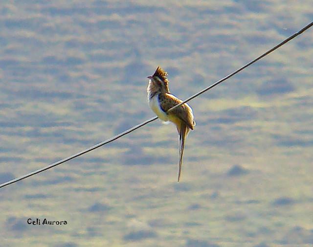 Cossyzus melacoriphus ( Papa-lagartoCossyzus melacoriphus ( Papa-lagarta-acanelado ou Cucu ou Pássaro-xareu ) Dark-billed Cuckoo) - 12948