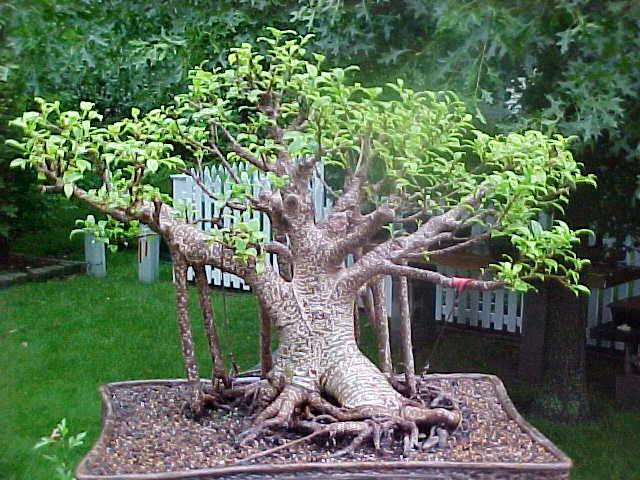 My Ficus retusa  in 2005
