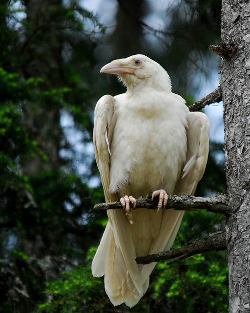 White Raven of Qualicum 8by Mike Yip