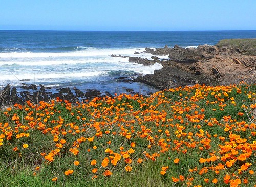 Montana de Oro Poppies - 2 | by slodocents