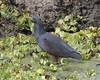 Rufous-bellied heron  (Ardeola rufiventris) by Lip Kee