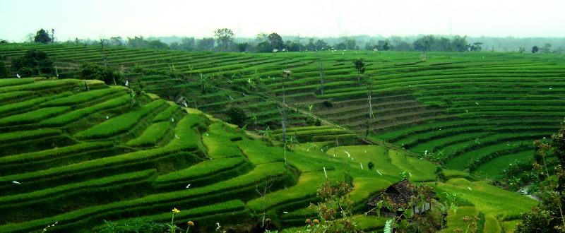 Rice paddy at Seloliman village