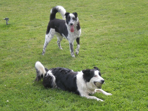 friends dog dogs animals ball mixed play labs bordercollies breeds pyranees heelers