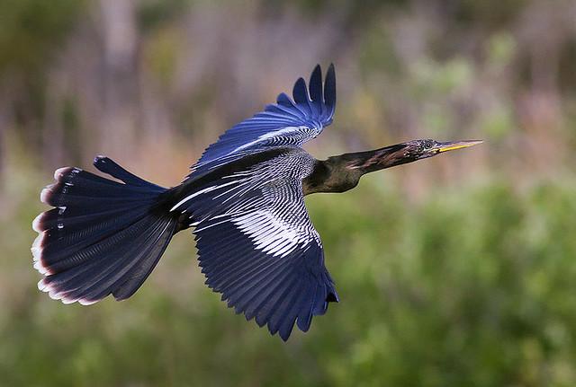 Male Anhinga in Flight (Anhinga anhinga)