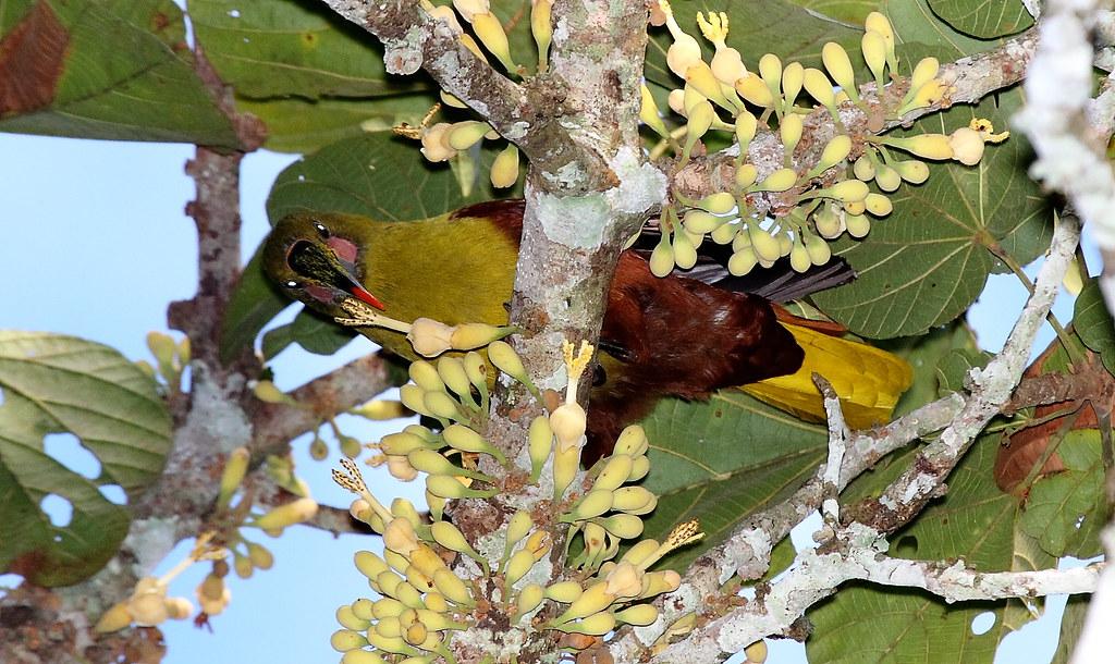 IMG_7705 Amazonian(Olive)oropendola