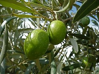 Olive   by pizzodisevo 1937