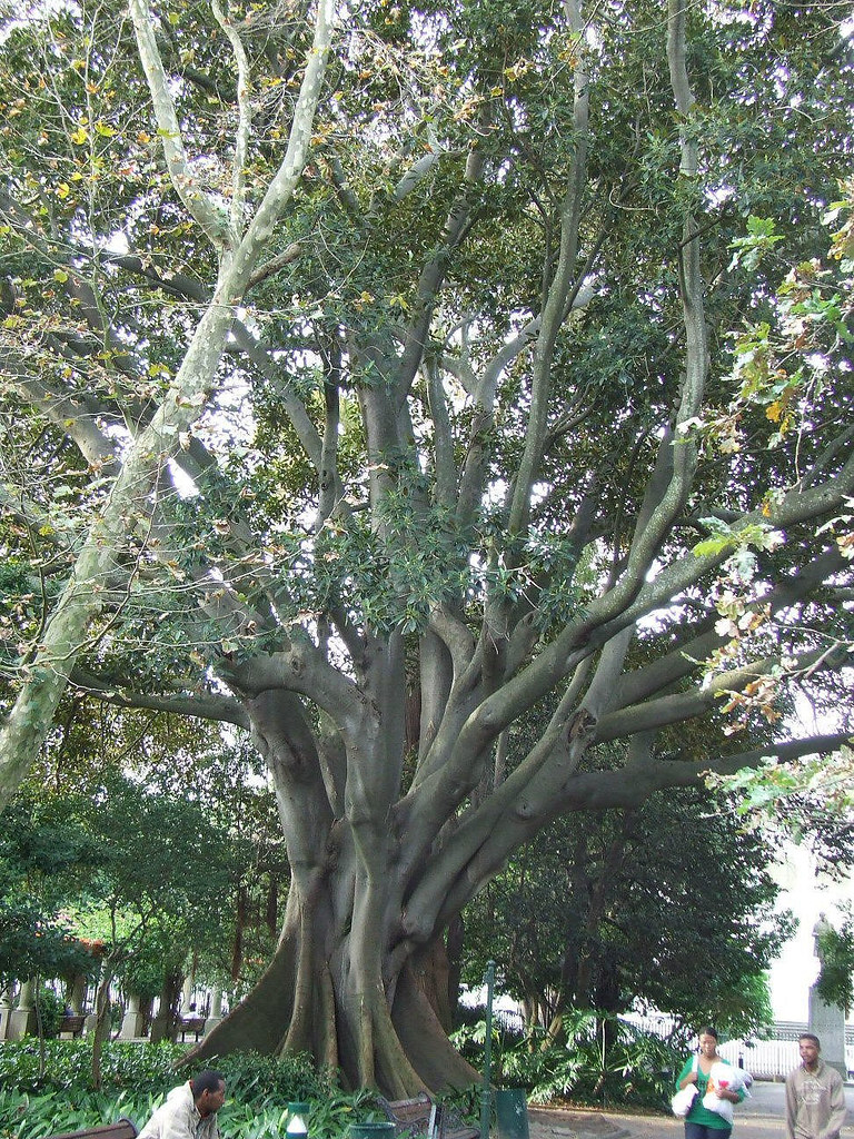 Rubber Tree In Company S Gardens Cape Town The Latin