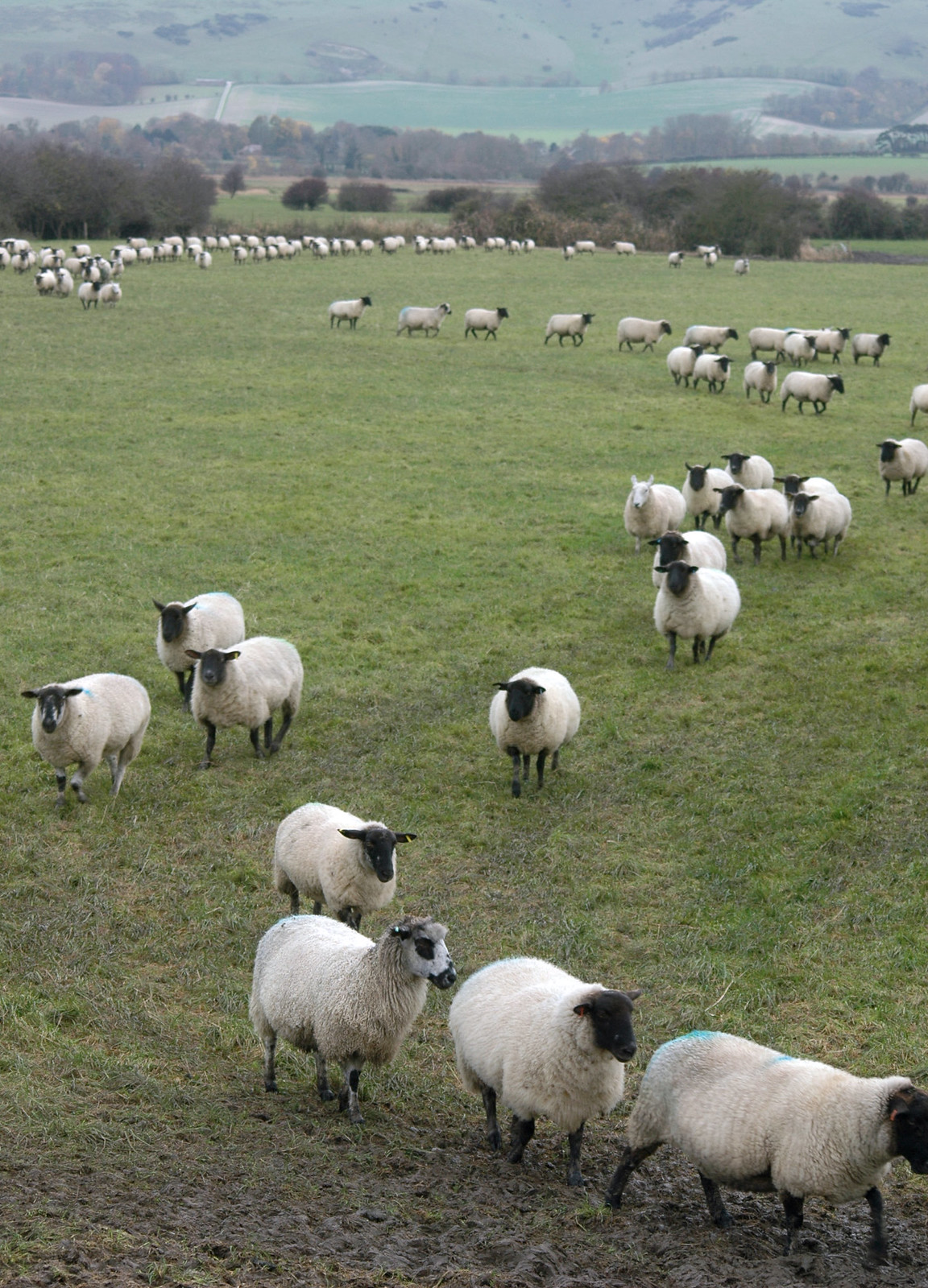 Sheep in a queue? I was most bemused by this flock of sheep which weaved its way in an orderly line from one end of the field to the other. There were no sheepdogs or farmers in sight to keep them in line and there seemed no obvious reason for them walking in curves rather than in a straight line. Surely this cannot be normal behaviour!