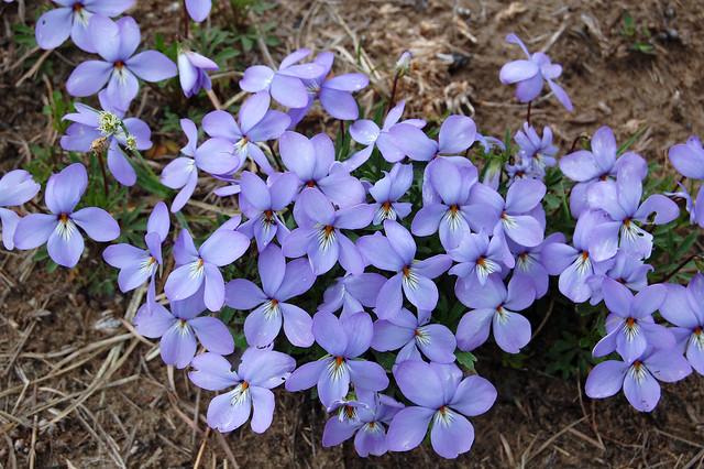 Bird's-Foot Violet, Spring Green Preserve