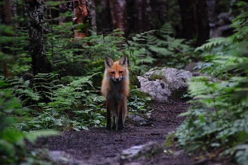 Red Fox | by Edward Faulkner