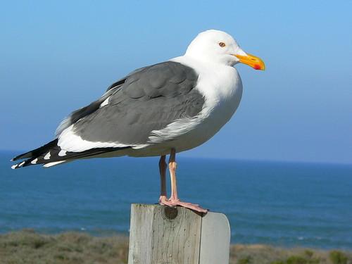 Western Gull (Larus occidentalis) | by docentjoyce