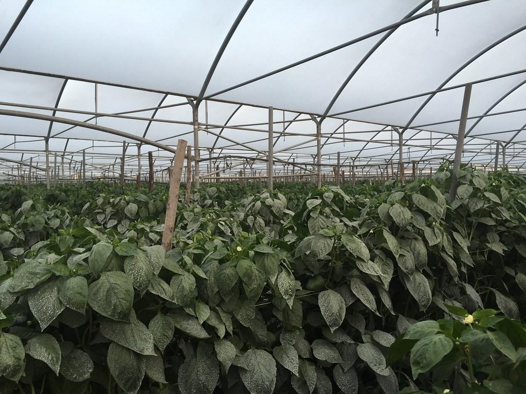 Orticoltura e Valore - prove in campo Peperone 2015 - 2112