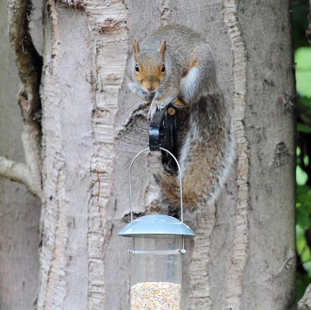 Grey Squirrel(Sciurus carolinensis)