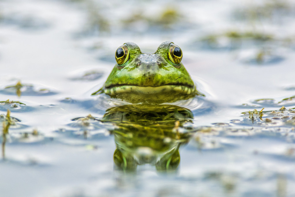 Why the Frog Face ?