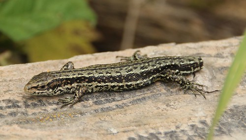 lizard | by http://wildaboutthebritishisles.uk