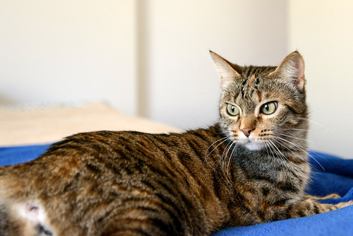 Grace - Grace, gata parda moteada guapa super cariñosa esterilizada nacida en Agosto´15, en adopción. Valencia.  32945999226_0d4f24ed54