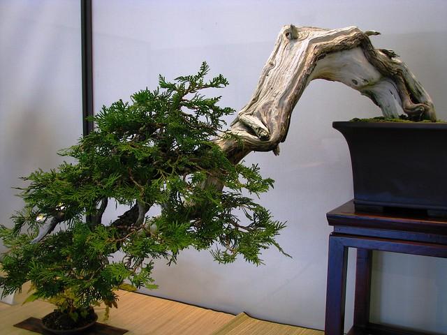 Eastern White Cedar, Bonsai Show, Toronto Botanical Garden, Toronto, ON